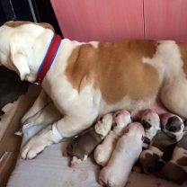 Bulldog ingles ambos padres con pedigree kcu Prontos para entregar